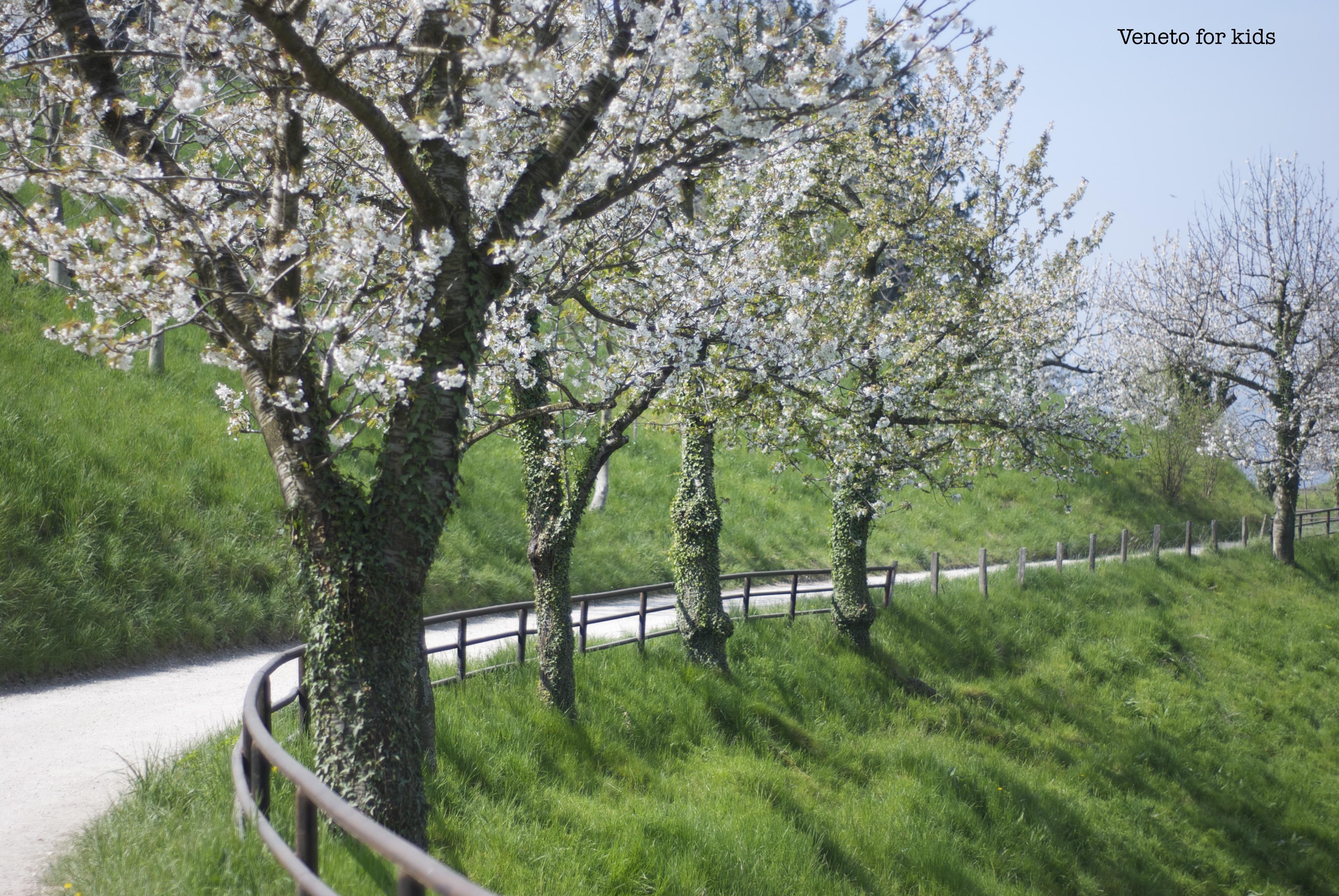 ciliegi in fiore a marostica